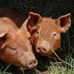 Raising Your Own Pigs for Pork, Bacon & Sausages