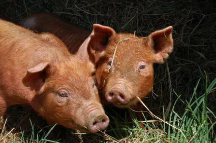 cost of raising pigs at home - garage eigensearch ga