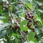 Cherry Wine Recipe