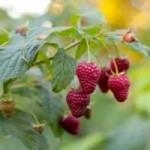 Raspberry Wine Recipe