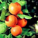 Orange Wine Recipe