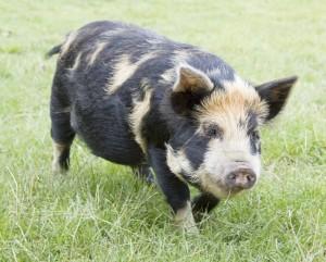 Rare breed Kunekune pig