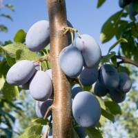 Damson Wine Recipe