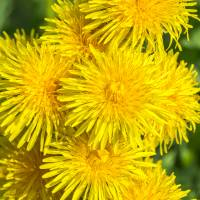 Dry Dandelion Wine Recipe