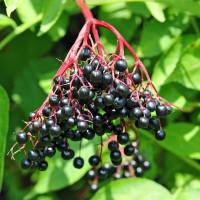 Traditional Elderberry Plus Wine Recipe