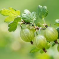 Gooseberry Wine Recipe