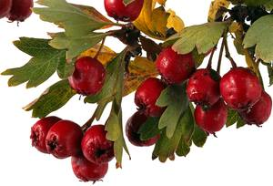 Hawthorn Berry Wine Recipe