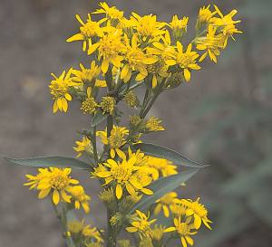 Goldenrod Wine Recipe