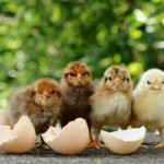 Incubating Chickens & Ducks, Hatching, Sexing & Rearing