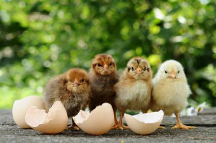 Incubating Chickens & Ducks - Low Cost Living