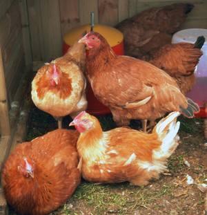 Keeping Hens Healthy