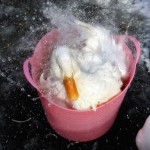 What to Feed Chickens in Winter