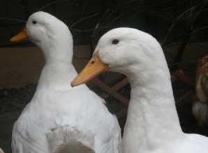 Keeping Aylesbury Ducks at Home