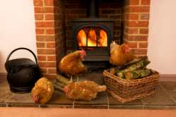 Chickens by a Woodburner