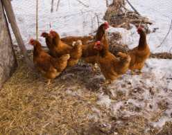 Chickens in a Snow Covered Run