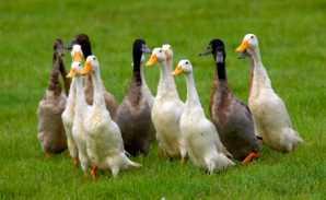 indian runner ducks - Duck Breeds