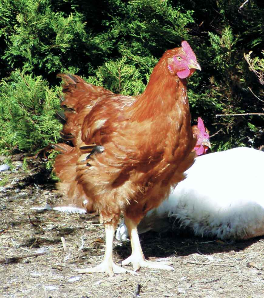 Keeping Chickens For Meat, Table Birds Best Chicken Breeds